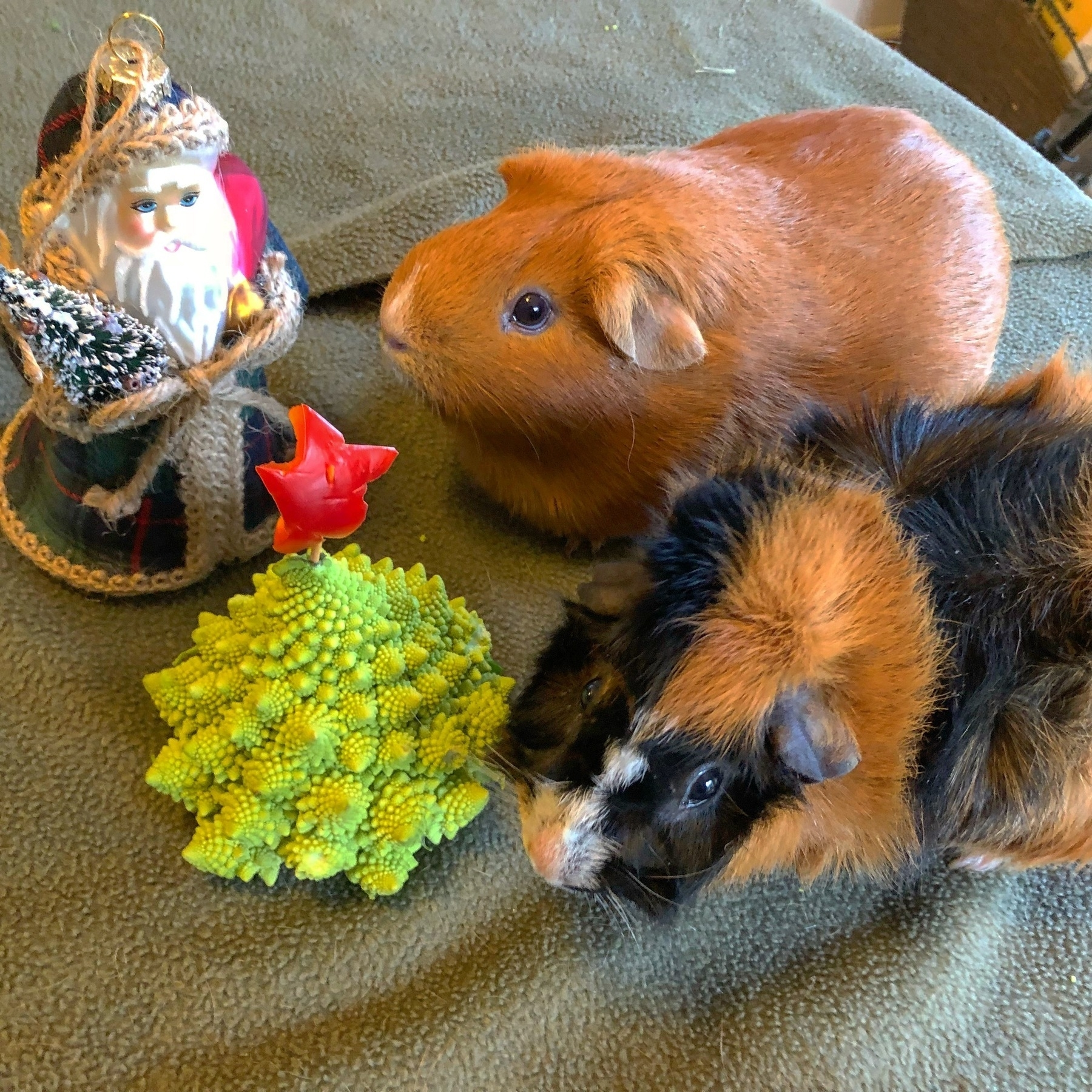 Guinea pigs Grace and Ada next to a Father Christmas ornament and a small Christmas tree.